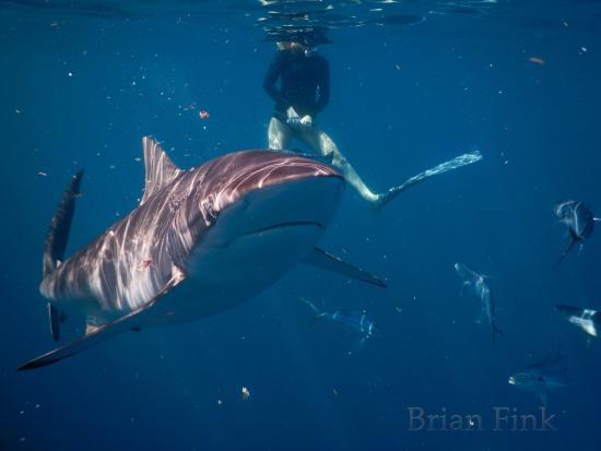 Jupiter, FL: Cruising Silky Shark