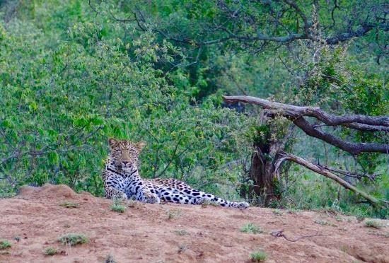 N'kaya Lodge: Gorgeous female leopard