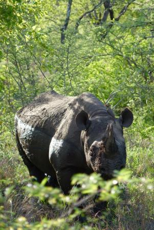 N'kaya Lodge: Female Black rhino
