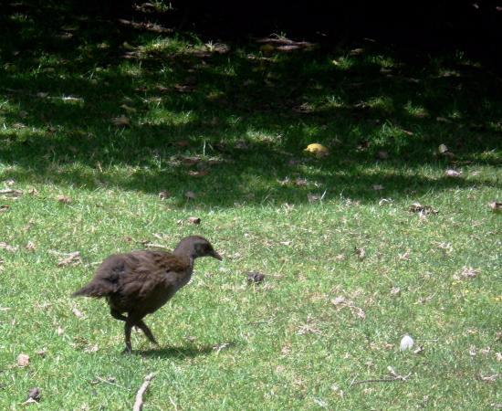 Wyspa Waiheke, Nowa Zelandia: Pea hens everywhere