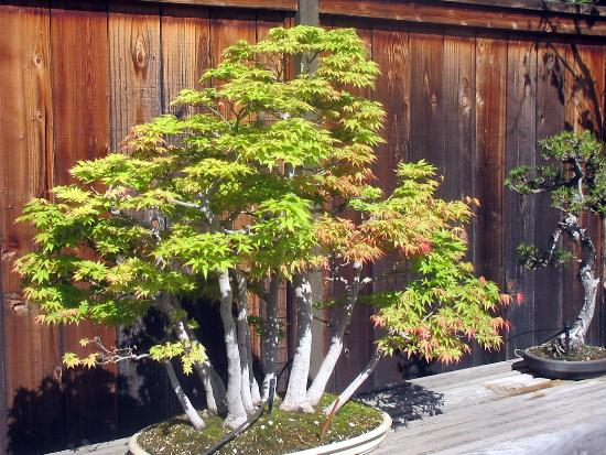 Japanese lanterns and bonsai trees Picture of GSBF Bonsai Garden
