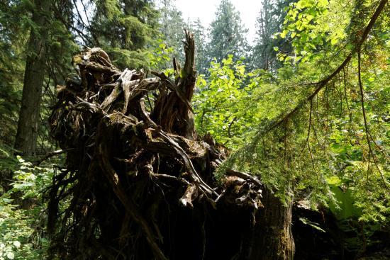 Giant Cedars Boardwalk Trail: Forêt primaire