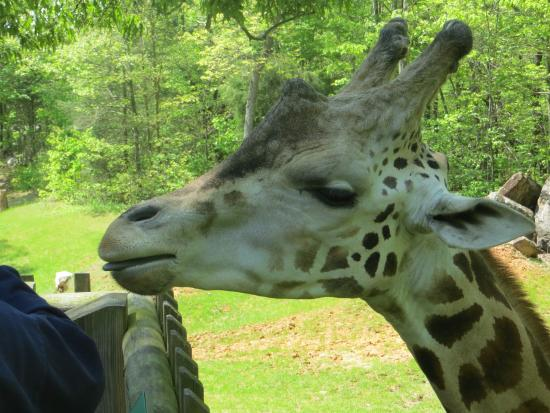 North Carolina Zoo: My favorite thing to do at the zoo, is the giraffe deck. For $2, you are given lettuce to feed t