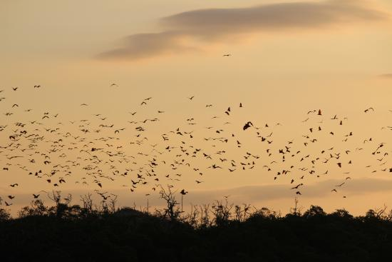 Flores, Indonesien: le Flying foxes al tramonto