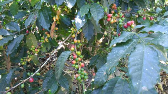 Cooperativa La Voz Que Clama En El Desierto: Coffee growing