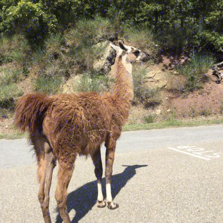 Il Parco  di Cavriglia: lama's op straat