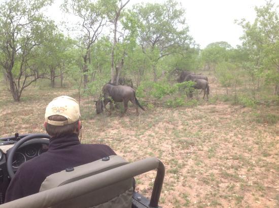 Mala Mala Private Game Reserve, Sudáfrica: Multitudes of buffalo