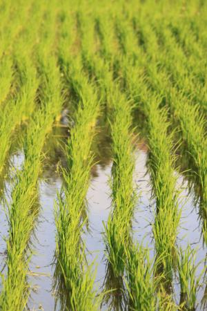 Ananda Cottages: rice fields