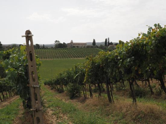 Ville di Corsano, Ιταλία: Vineyard