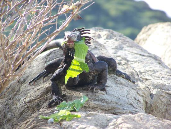 Peter Island Resort and Spa : Black Iguana eating lettuce.  Fun to feed.