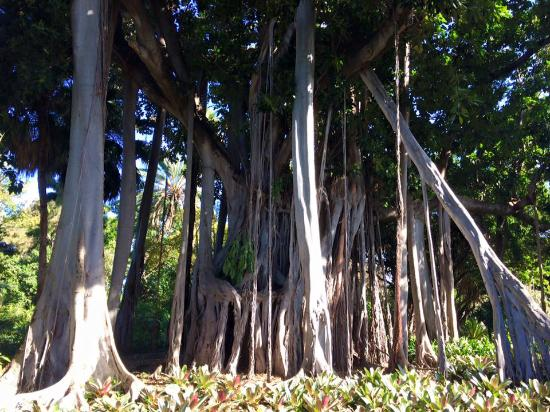 Giant ficus tree picture of botanical gardens jardin for Au jardin botanical gardens