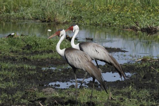 Linyanti Reserve, Botswana: Magnifiques grues cendrées
