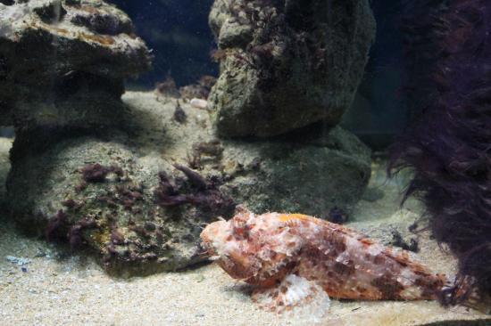 Aquarium: scorfano