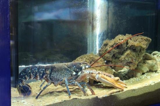 Aquarium: astice blu di Crotone