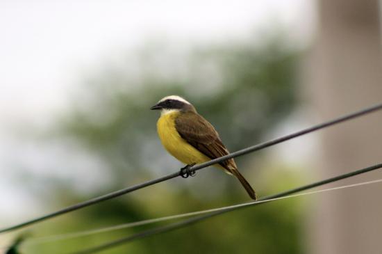 La Casa De Don David: Social Flycatcher in the hotel gardens