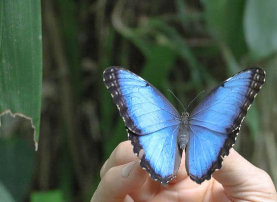 Horquetas, Kostaryka: Blue Morpho butterfly at Pierella Ecological Garden
