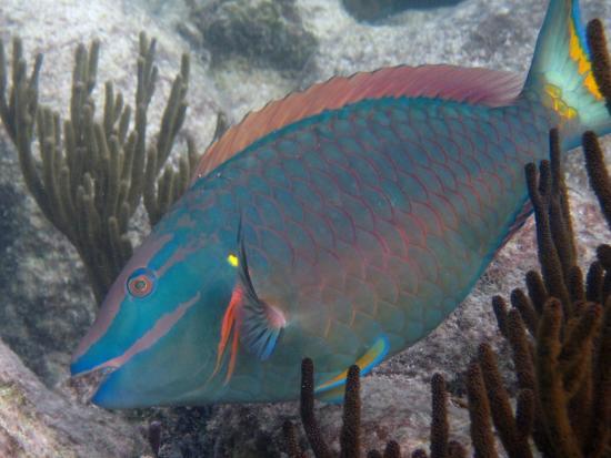 Akumal Bay Beach & Wellness Resort: Parrot fish