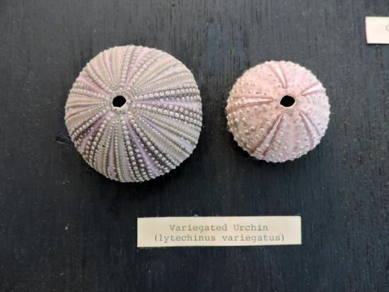 Boca Grande, FL: Sea urchin
