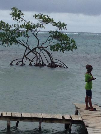 Seagrape Plantation Resort: Mangrove Tree