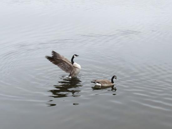 Kerry Wood Nature Centre: Canada Geese on Gaetz Lakes