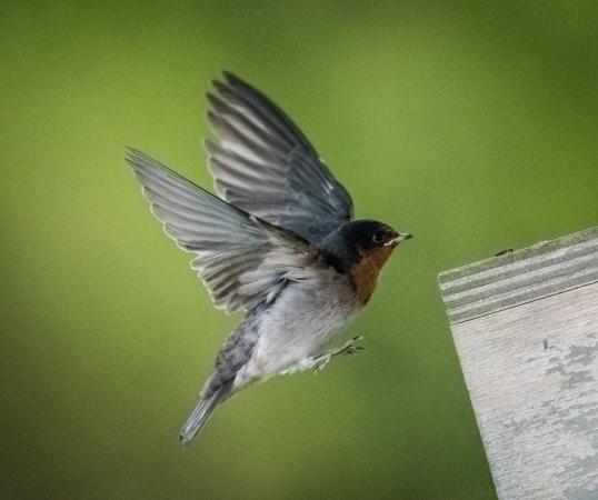 Riverside, Australien: Welcome Swallow