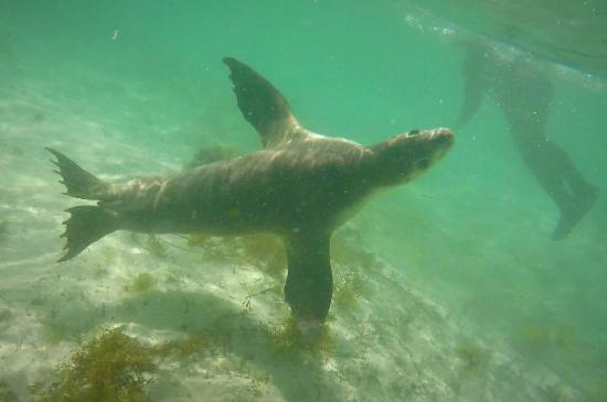Austrália do Sul, Austrália: Fun times with the young Sealions