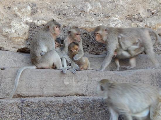 Lop Buri, Tailandia: monkey see monke do