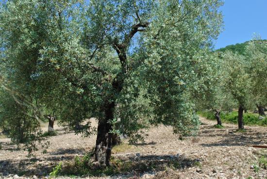 Pozzilli, Italie : Uliveto