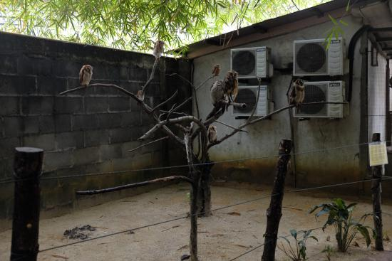 Perai, Malasia: owls with wings clipped