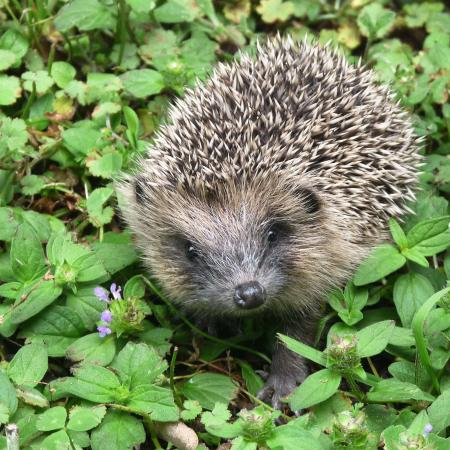 Tamahere, New Zealand: Hedgehog