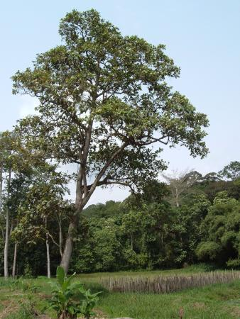 Abidjan, Ivory Coast: Magnificent trees in Banco forest