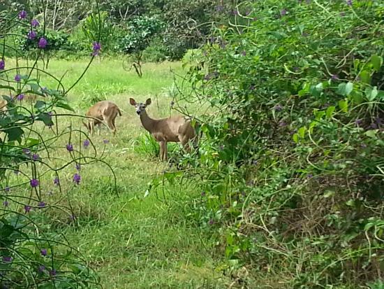 Nicoya, Kosta Rika: deer at Curu