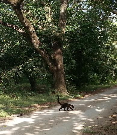 Nicoya, Kosta Rika: coati at Curu