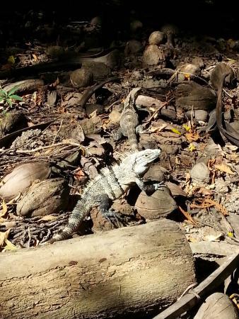 Nicoya, Kosta Rika: lizard at Curu