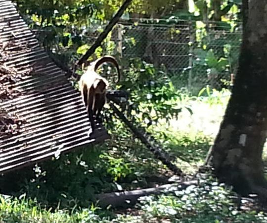 Nicoya, Kosta Rika: spider monkey in enclosure