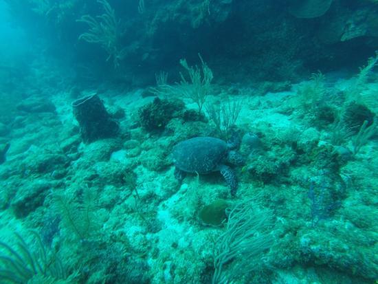 Native Sons Dive Shop : Turtle