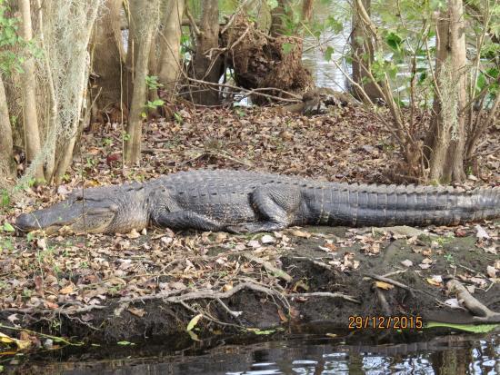 DeBary, Φλόριντα: gator