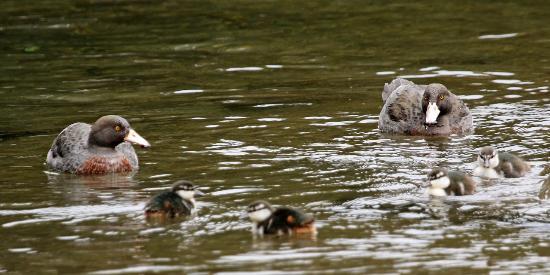 Foris Eco-Tours: Blue Duck family