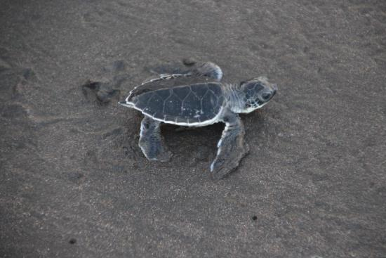 Parque Nacional Tortuguero: Hatched turtle