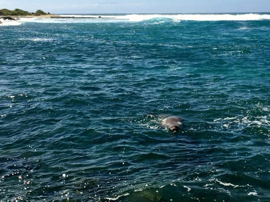 King's Highway: Hawaiian monk seal!