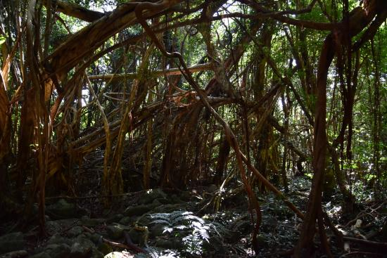 Sarukawa Banyan