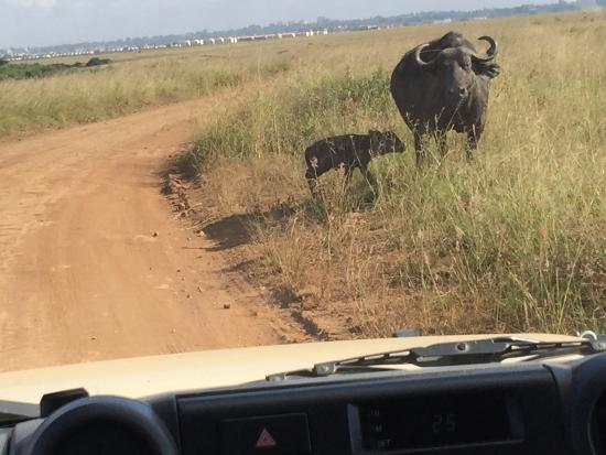 Nairobi Tented Camp: Buffalo right in front of our game drive vehicle