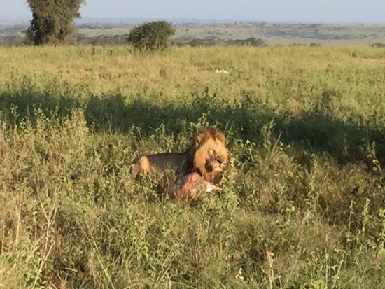 Nairobi Tented Camp: Lion feasting on killed buffalo.