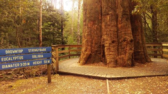 Deloraine, Avustralya: The Big Tree
