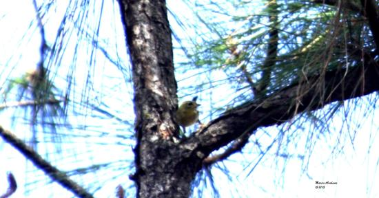 Canal Point, FL: Warbler at DuPuis Reserve