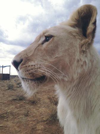 Felidae Centre : White lioness