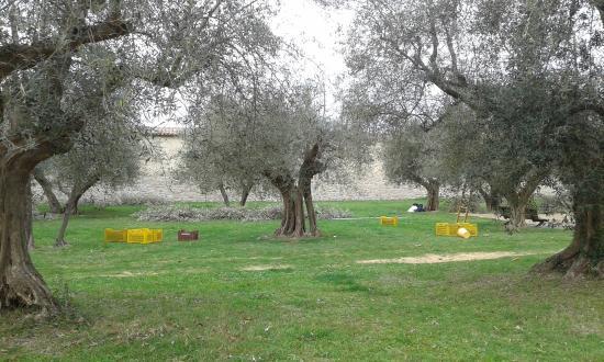 Sant'Arcangelo, Italien: oliveraie