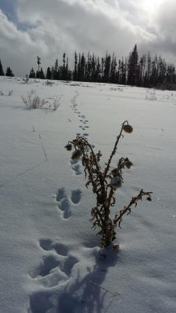 Granby, CO: snow rabbit