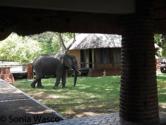 Mfuwe Lodge - The Bushcamp Company : Visit from the elephants.