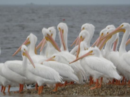 Yankeetown, FL: White pelicans in Gulf